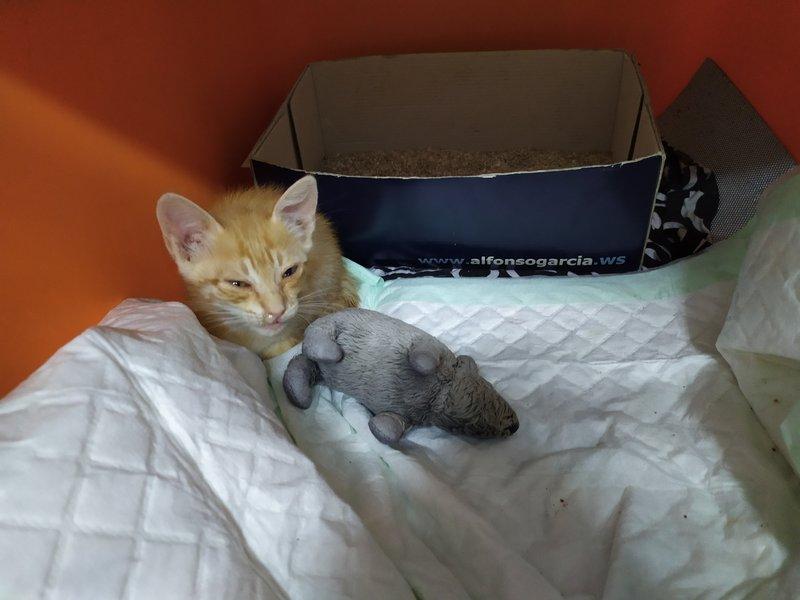 Gato bichi recien rescatado